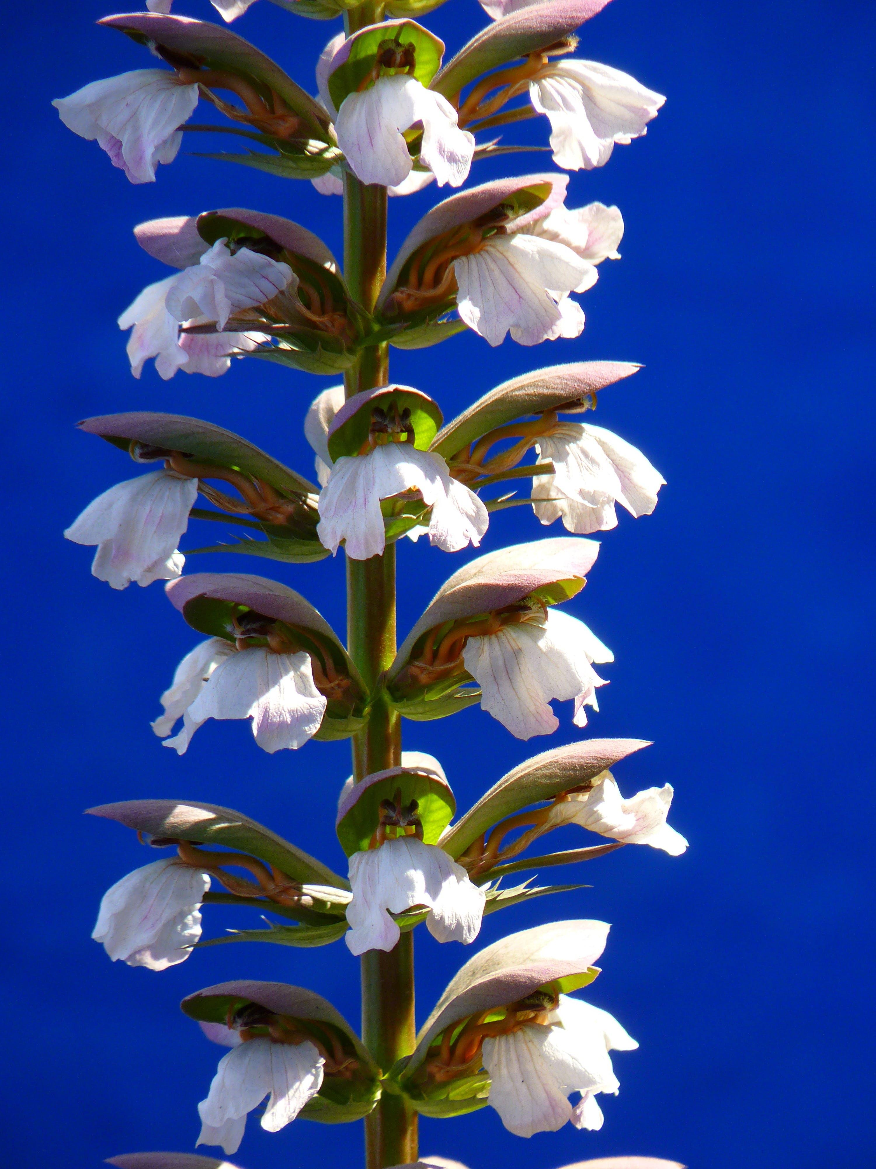 Free stock photo of acanthaceae, acanthus, acanthus hungaricus, acanthus mollis