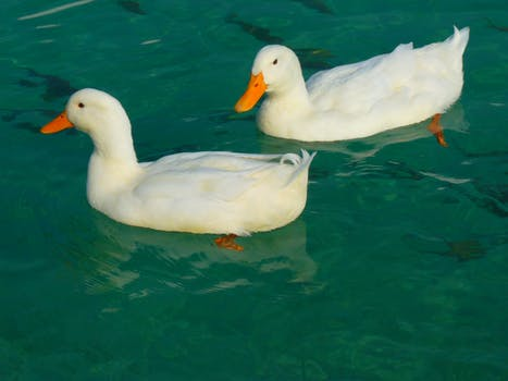 2 White Duck on Clue Clear Water