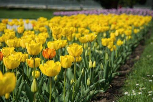 คลังภาพถ่ายฟรี ของ ดอกทิวลิป, ดอกไม้, พฤกษา, พืช