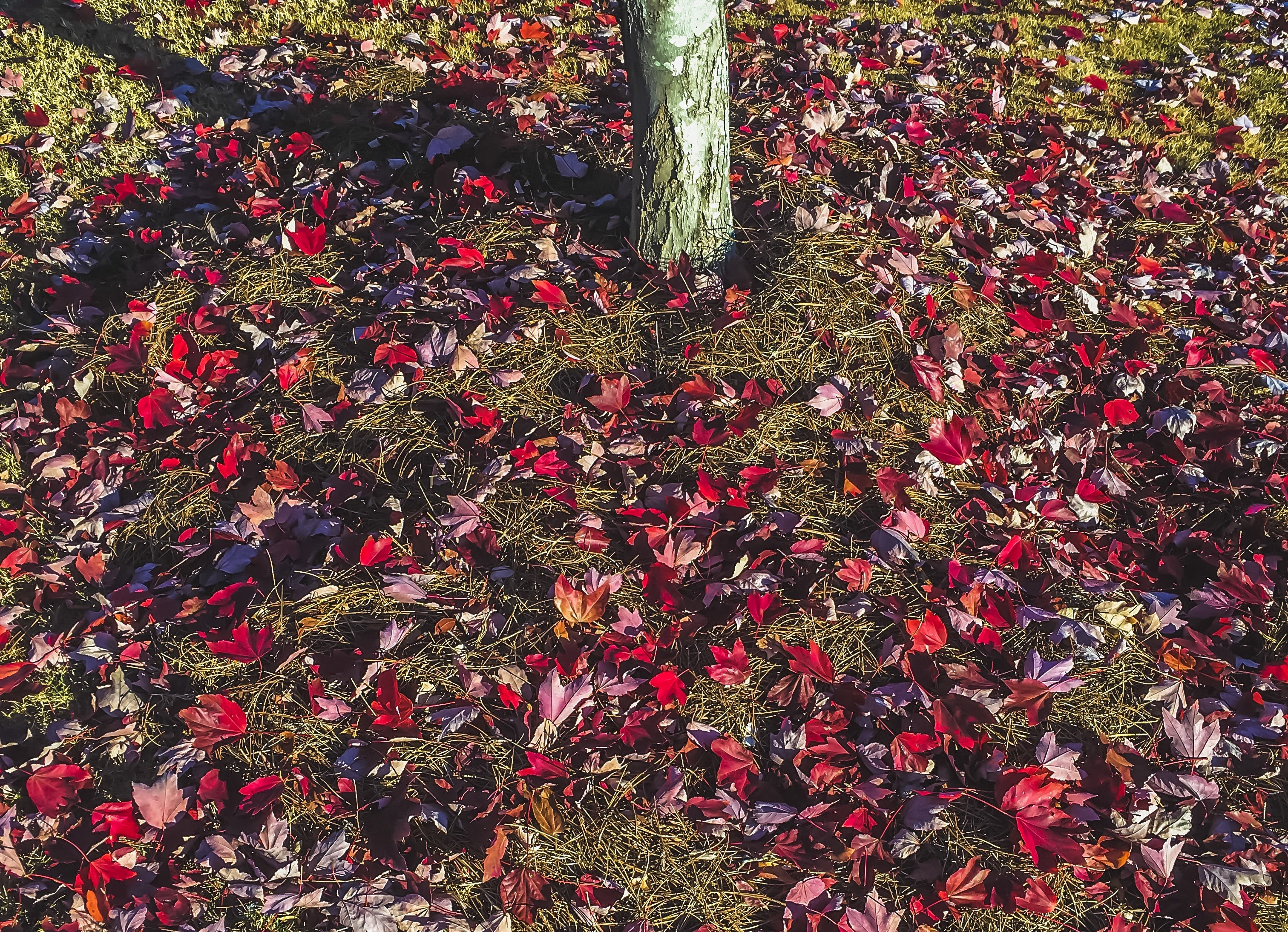 Free stock photo of fallen leaves, nature, photography, red leaves