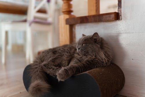 Gray Persian Cat Lying on a Cushion