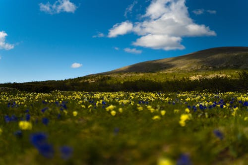 Kostenloses Stock Foto zu blauer himmel, blumenfeld, blumenwiese