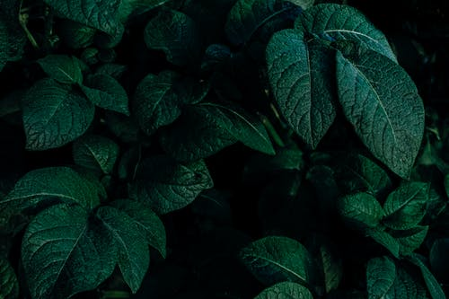 Free stock photo of dark green leaves, foliage, green
