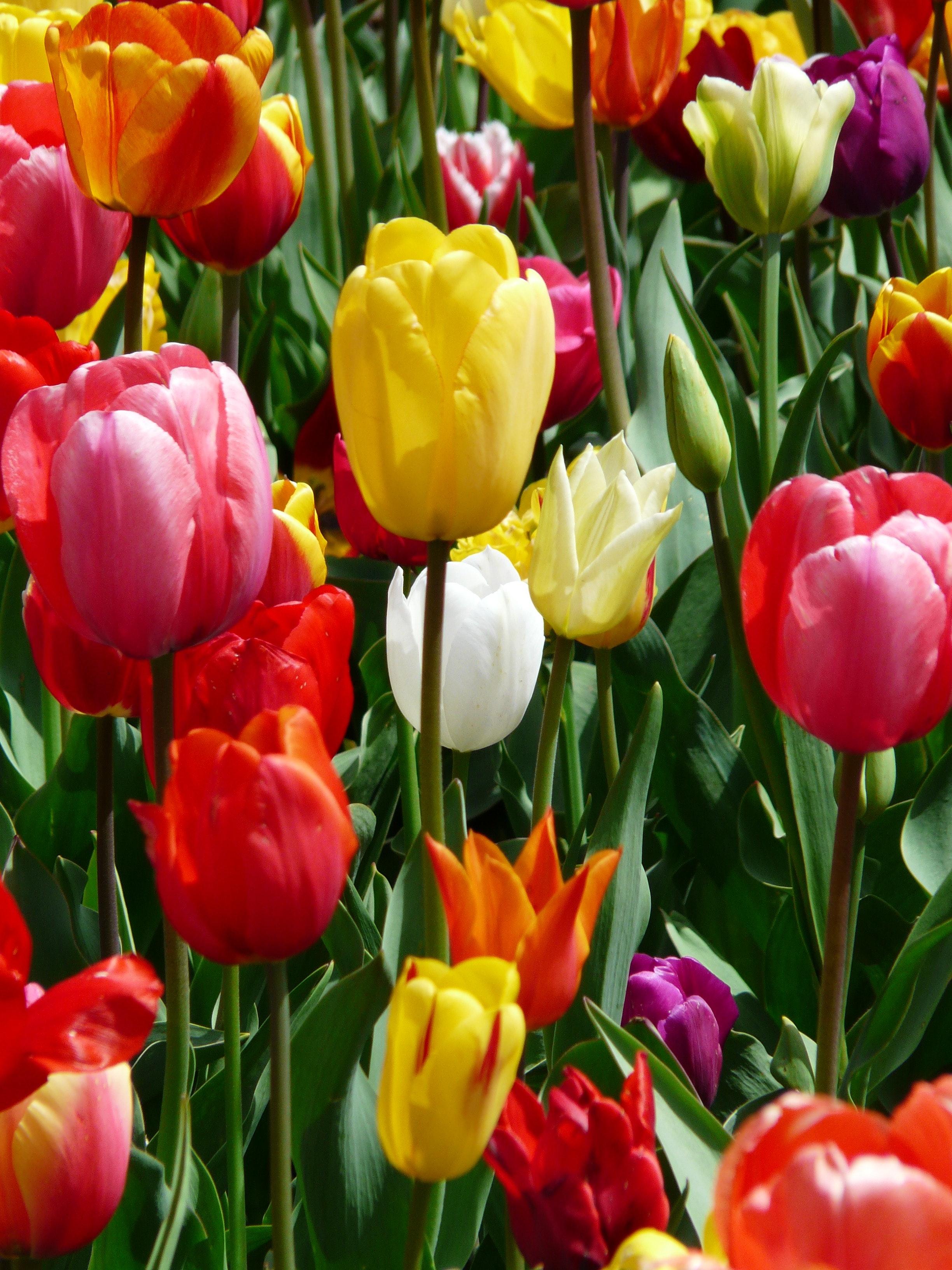 Red Purple And Yellow Tulip Fields 183 Free Stock Photo