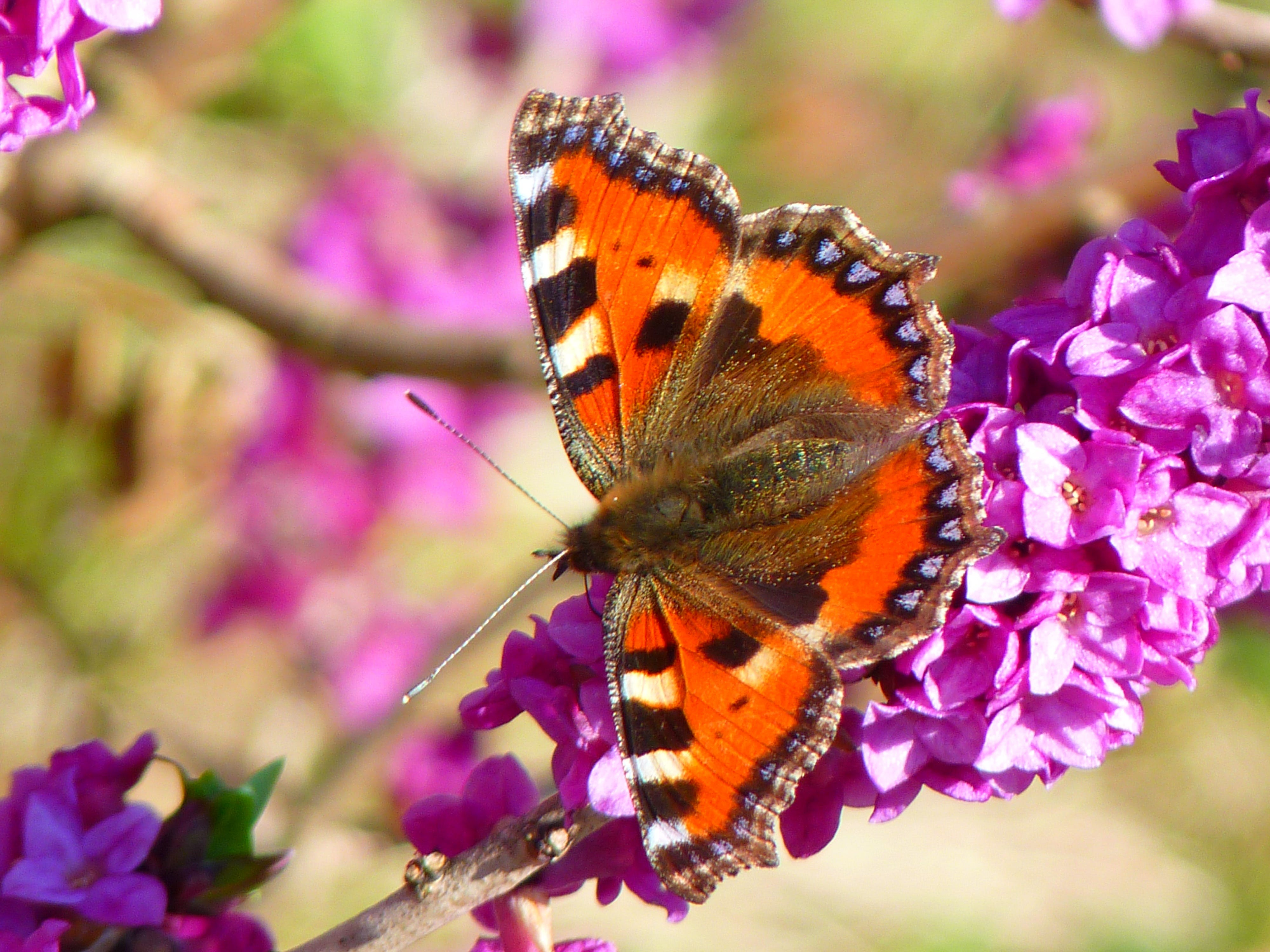 Orange White and Brown Butterfly on Pink Petal Flower