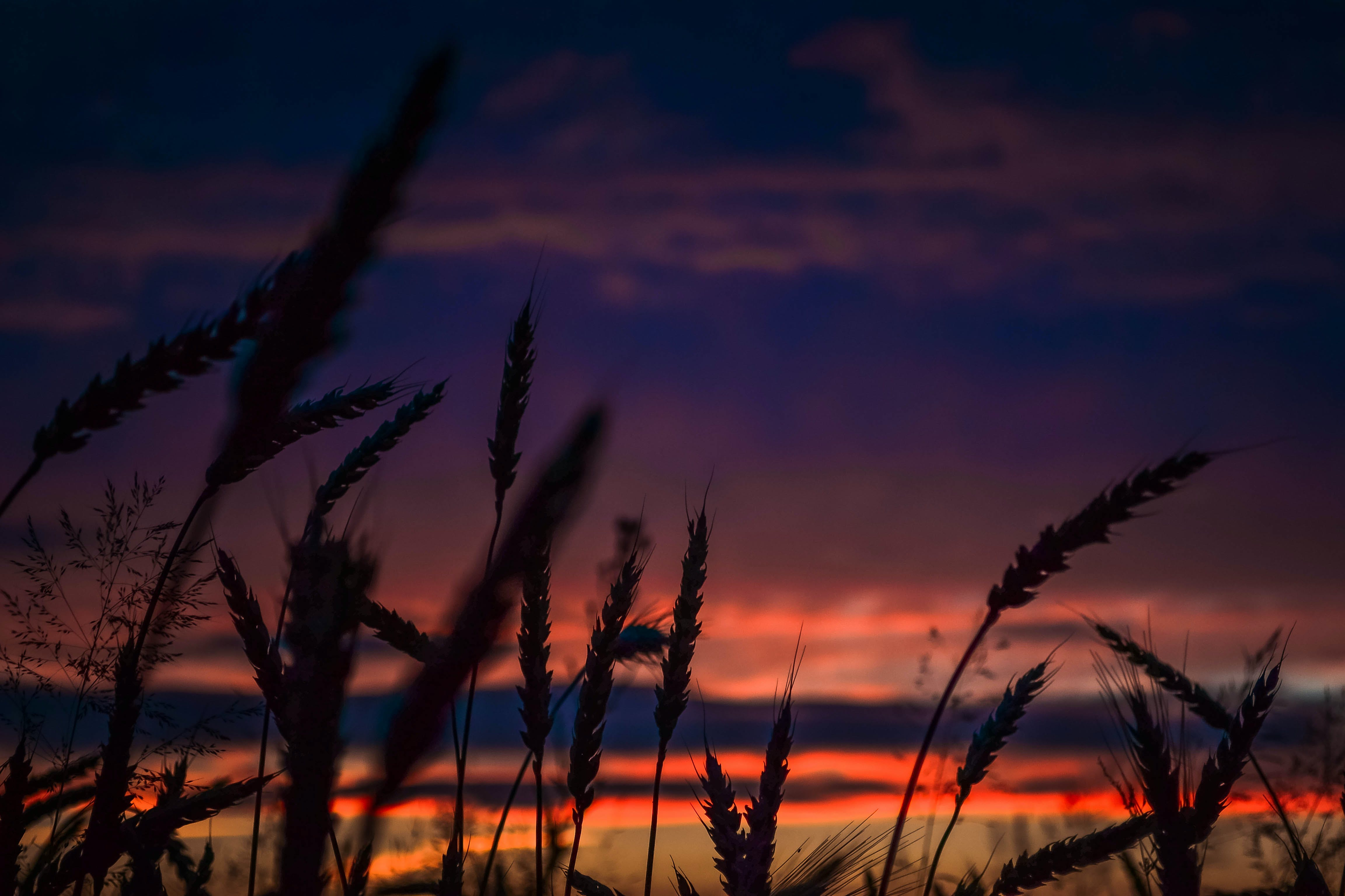 Silhouette of Wheats during Dawn in Landscape Photography
