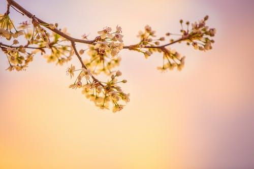 Darmowe zdjęcie z galerii z flora, gałąź, kwiaty, kwitnąć