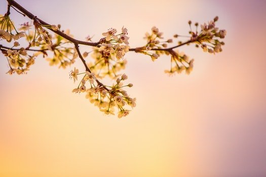 White Cherry Blossoms in Closeup Photography