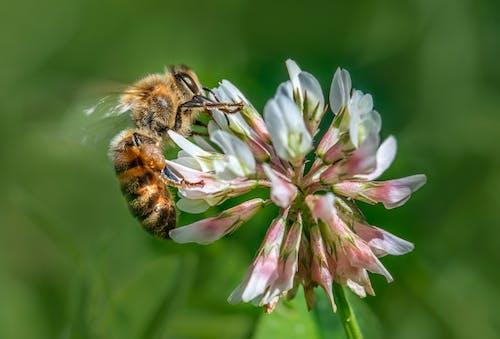 Western Honey Bee on Purple Flower