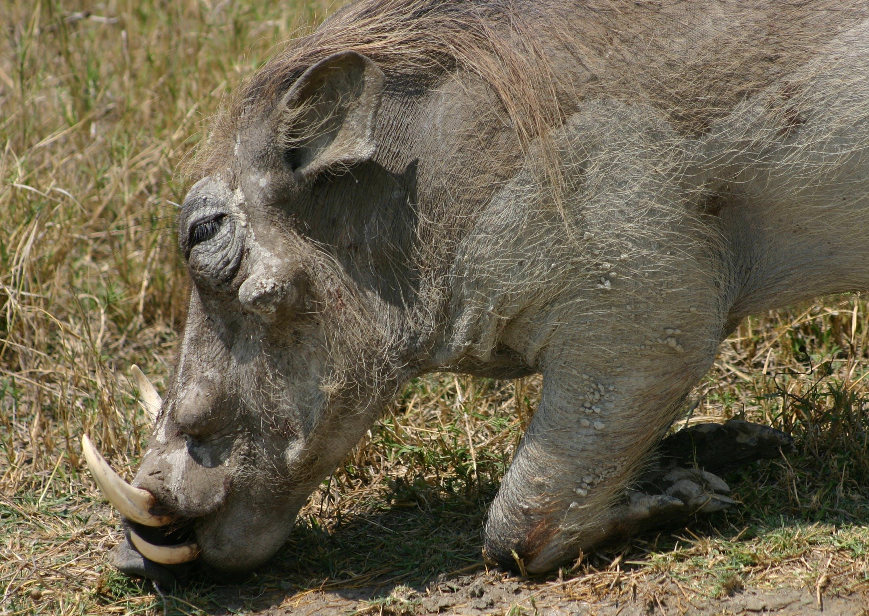 Kostenloses Stock Foto zu african wildlife, safari, wharthog