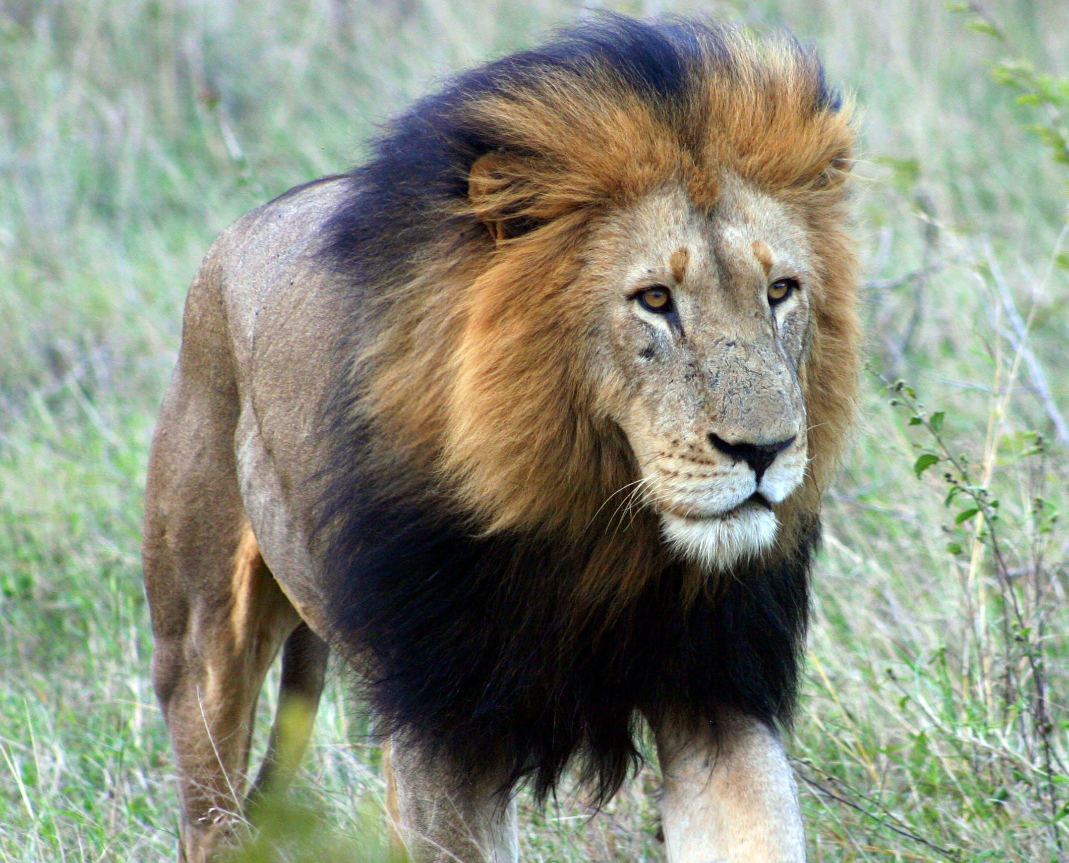 Kostenloses Stock Foto zu alpha-löwe, kalahari löwe, löwe, männlicher löwe
