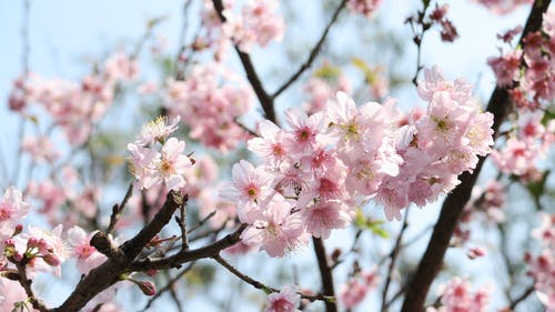 Free stock photo of cherry blossoms