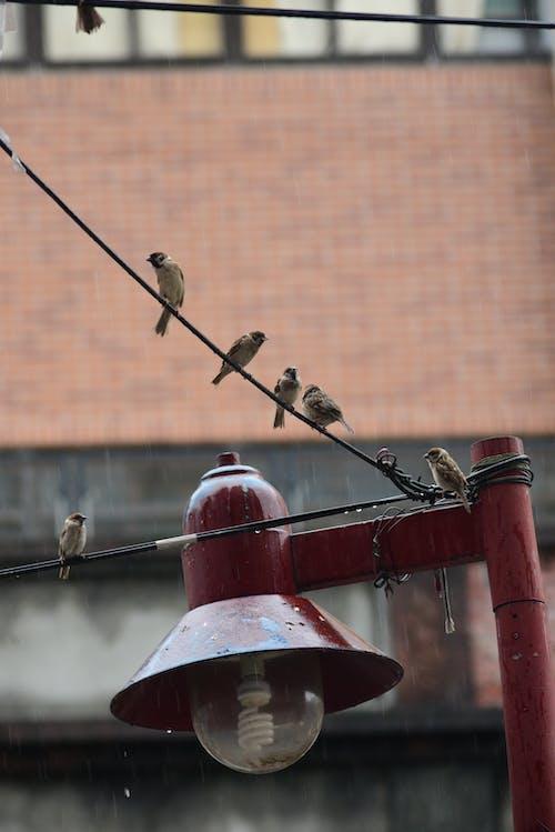 Free stock photo of rain, sparrow