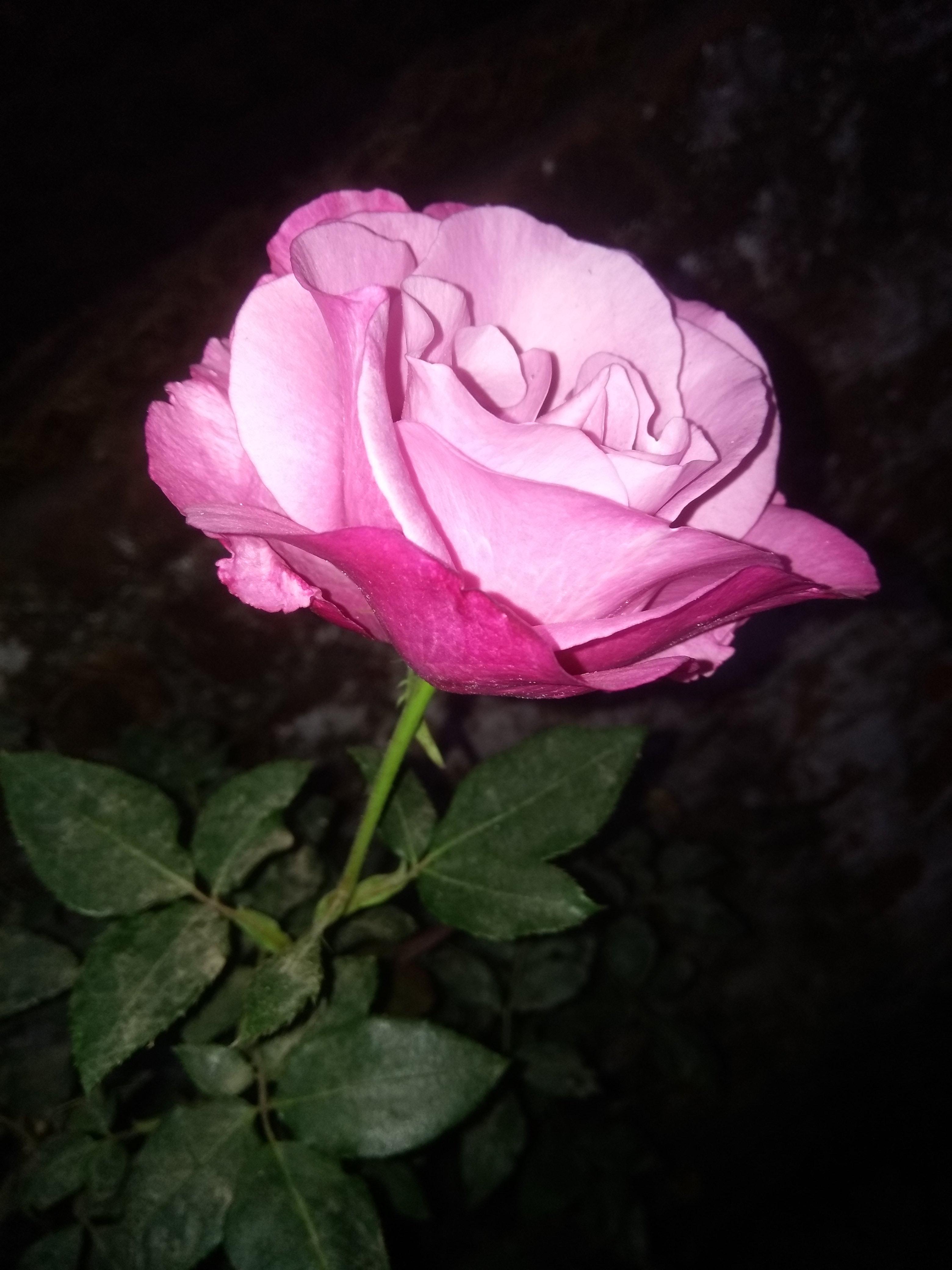 Unduh 6000 Koleksi Gambar Bunga Mawar Yang Indah Paling Cantik HD