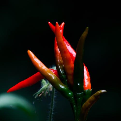 Kostenloses Stock Foto zu paprika, pfeffer