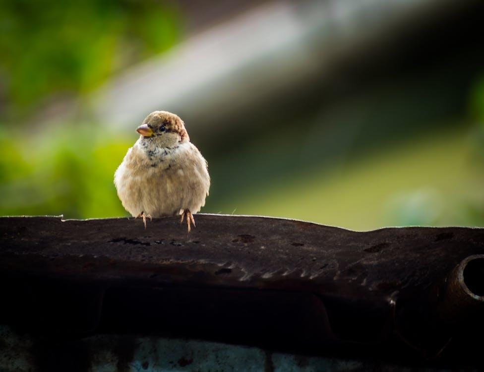 スズメ, マクロ, 自然の無料の写真素材
