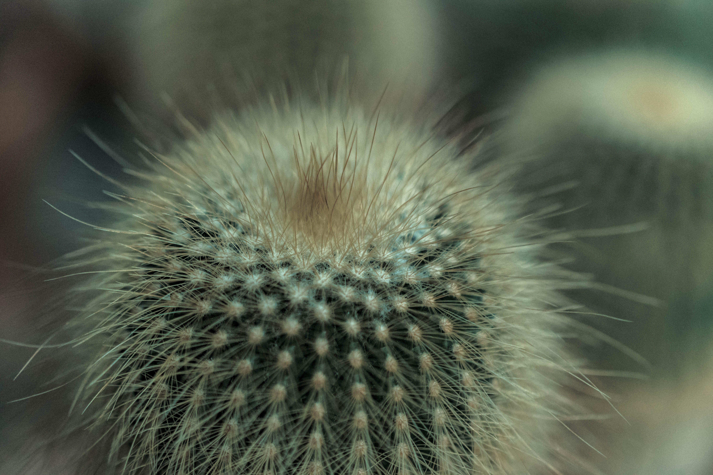 Free stock photo of cacti, plants