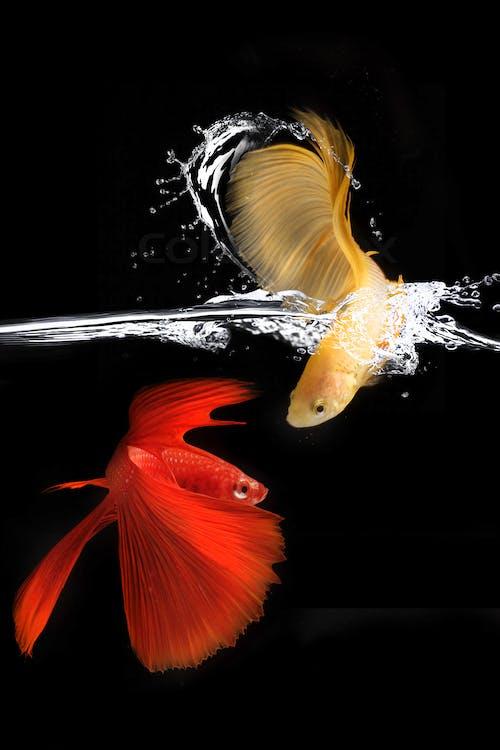 Orange and Yellow Siamese Fighting Fish