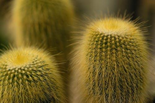 Kostnadsfri bild av kaktus, kaktusar, närbild, skarp