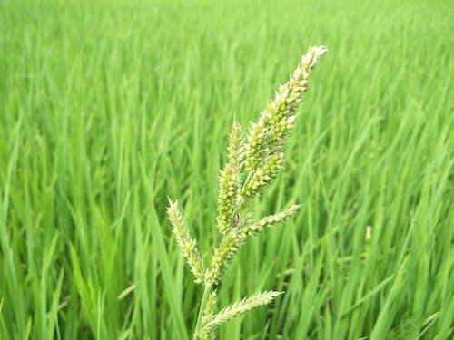 Fotobanka sbezplatnými fotkami na tému farma, pšenica, tráva, zeleň