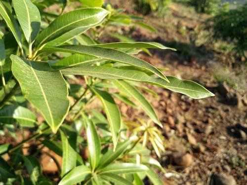 Fotobanka sbezplatnými fotkami na tému mango list, mango pllant, mango strom, rastliny