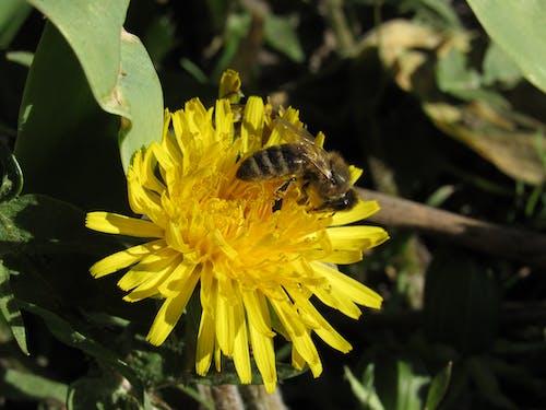 Безкоштовне стокове фото на тему «Бджола, жовтий, кульбаба»