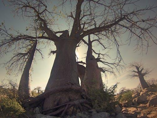 Afrika, ağaçlar, baobap ağacı, botsvana içeren Ücretsiz stok fotoğraf