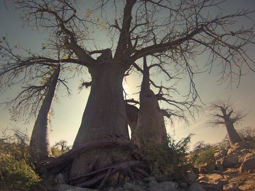 Kostnadsfri bild av afrika, baobab, botswana, grenar