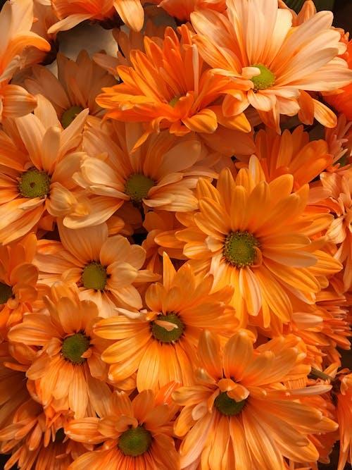 Kostenloses Stock Foto zu blume, blumen, orange, orange blume