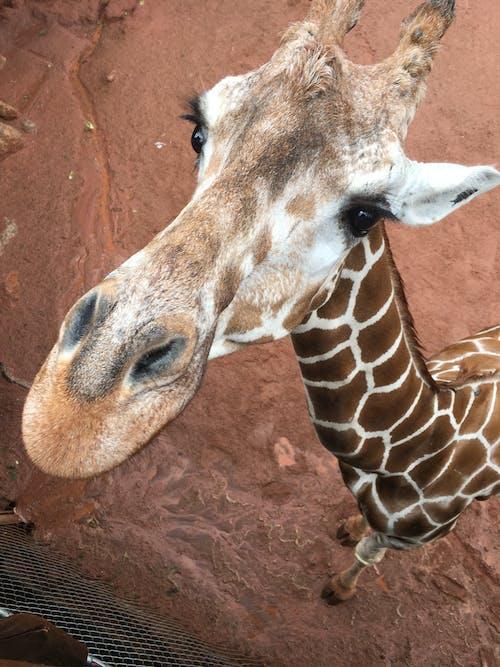 Kostenloses Stock Foto zu giraffe, zoo