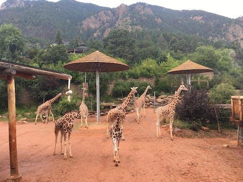 Kostenloses Stock Foto zu giraffe, giraffen, zoo