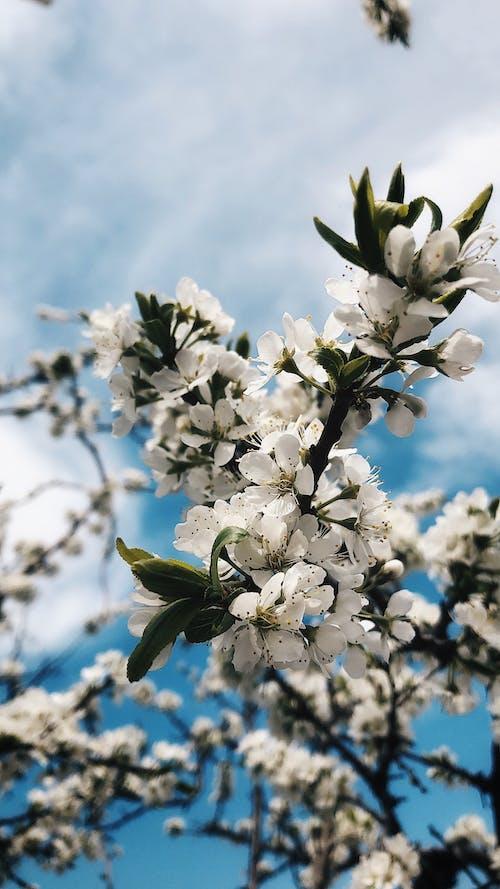 Fotobanka sbezplatnými fotkami na tému biele kvety, čerešňové kvety, flóra
