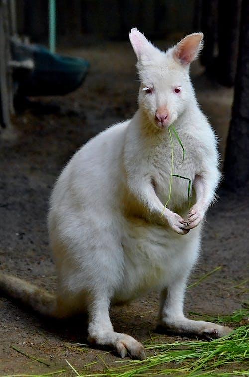 White Kangaroo Eating Green Grass