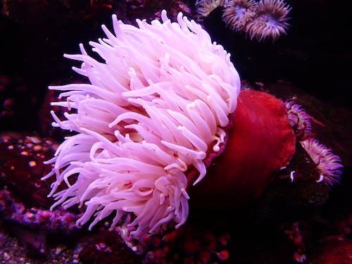 Photos gratuites de anémone de mer, coloré, créature, eau