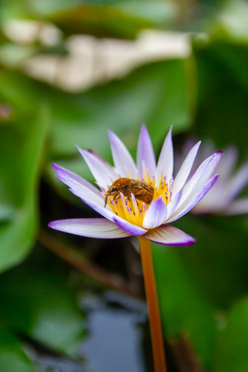 Shallow Focus Photo of an Insect Pollinating on a Lotus Flower