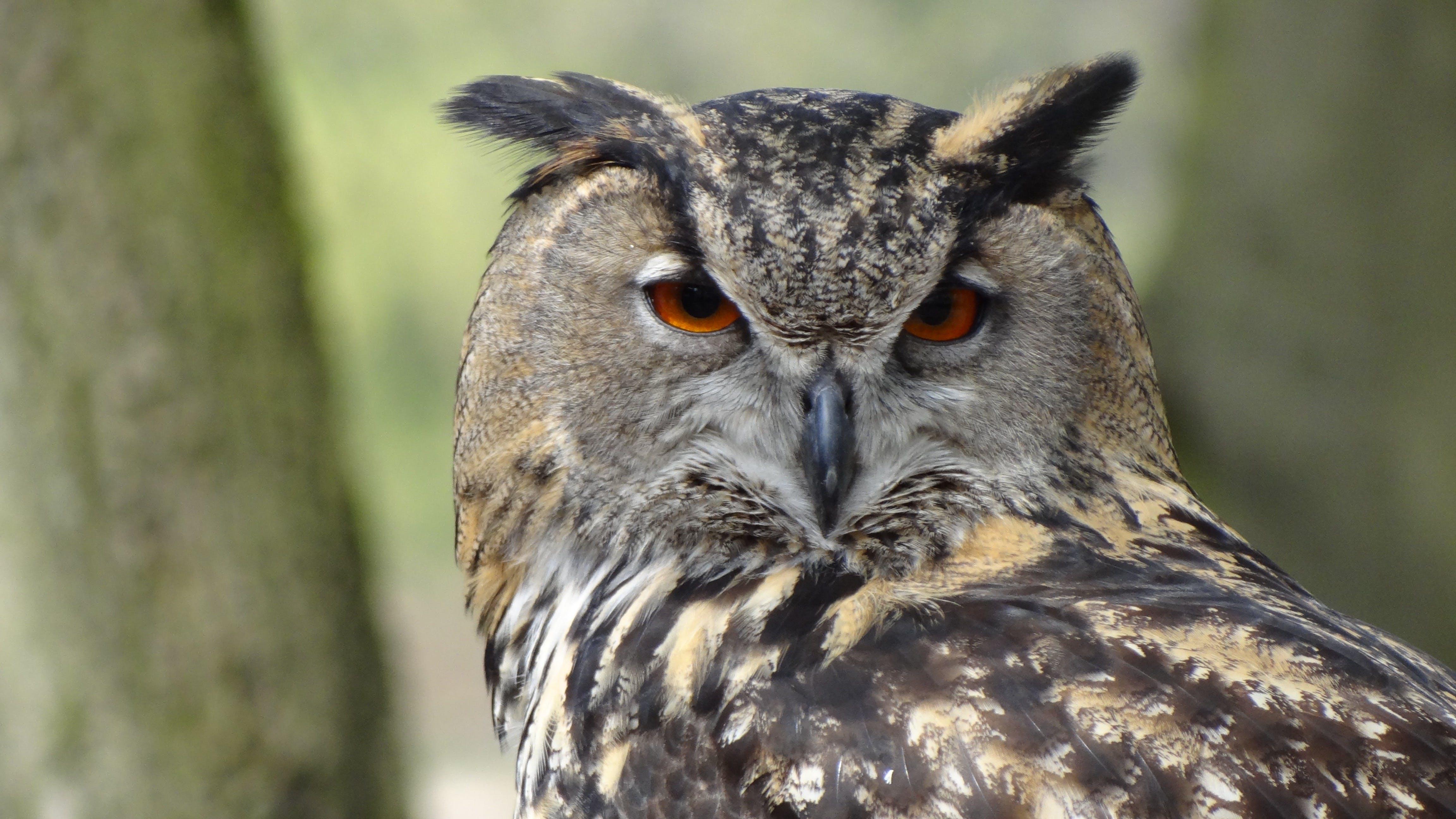 Základová fotografie zdarma na téma les, orla-sova, pírko, sova
