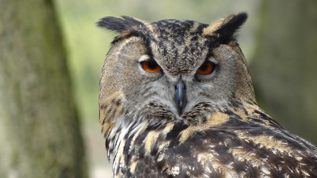 Close Up Photography of Black Grey Owl