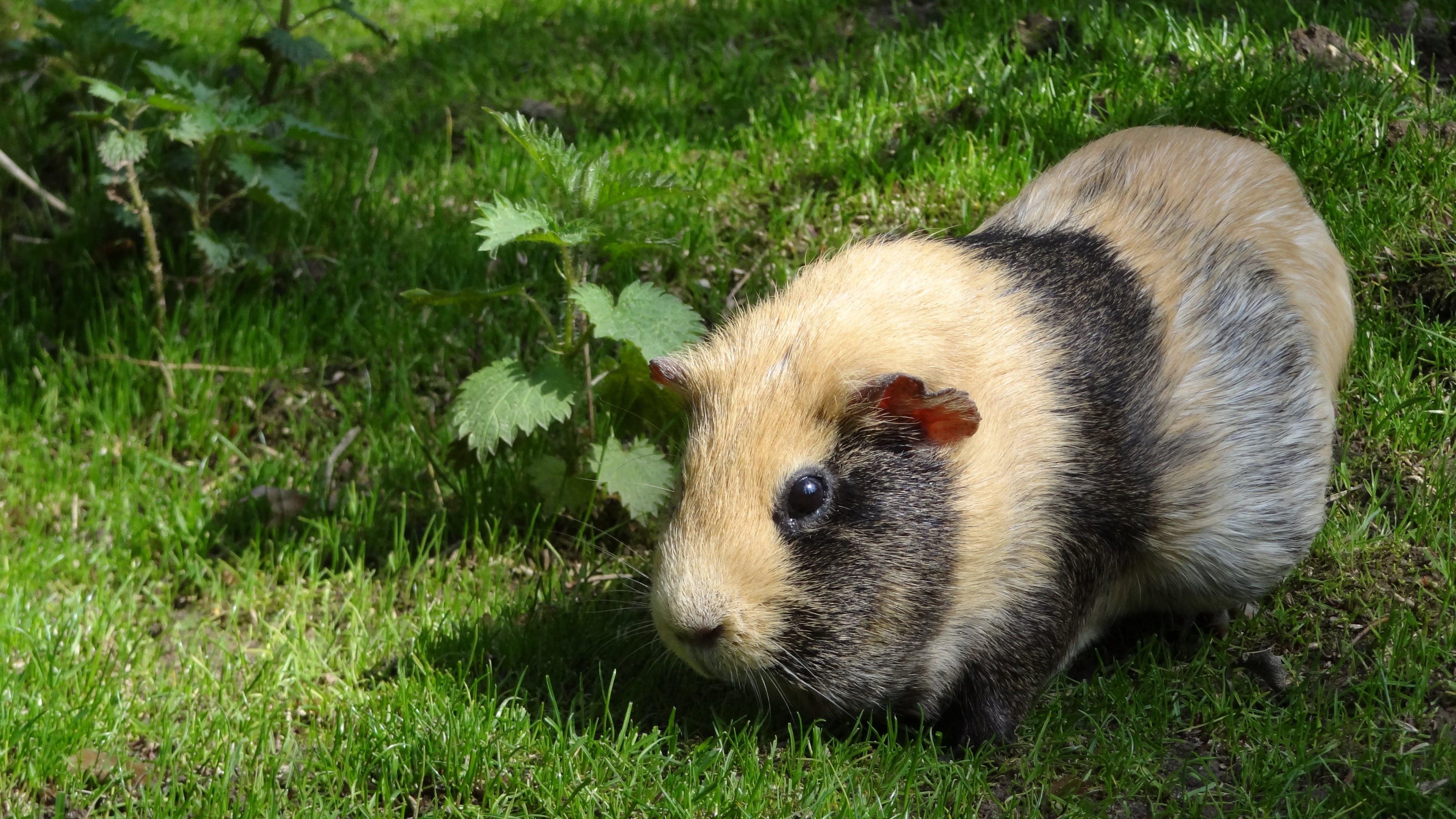 Free stock photo of animal, cute, guinea pig, guinea pig house