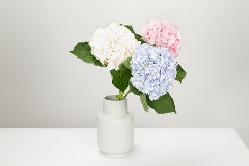 Three White, Blue, and Pink Petaled Flowers in White Vase