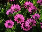 nature, flowers, purple
