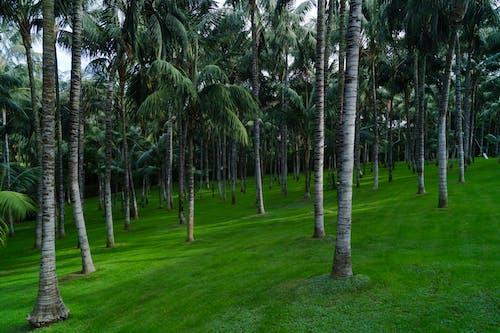 Foto d'estoc gratuïta de herba, jardí, palmeres, plantació