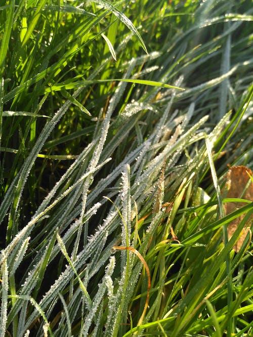 Δωρεάν στοκ φωτογραφιών με γρασίδι, παγετός, φύση, χειμώνας