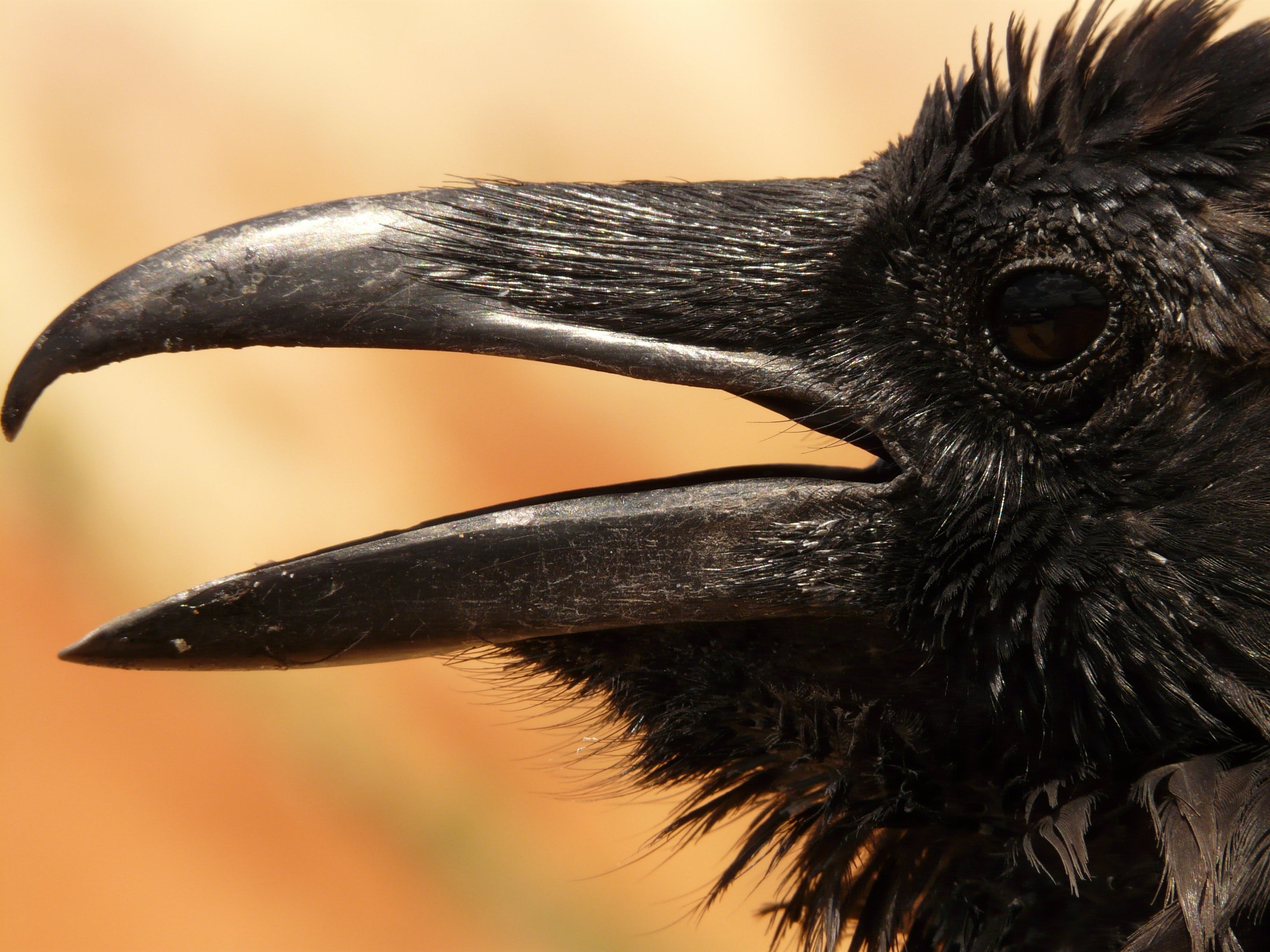 Black Crow in Macro Photgraphy