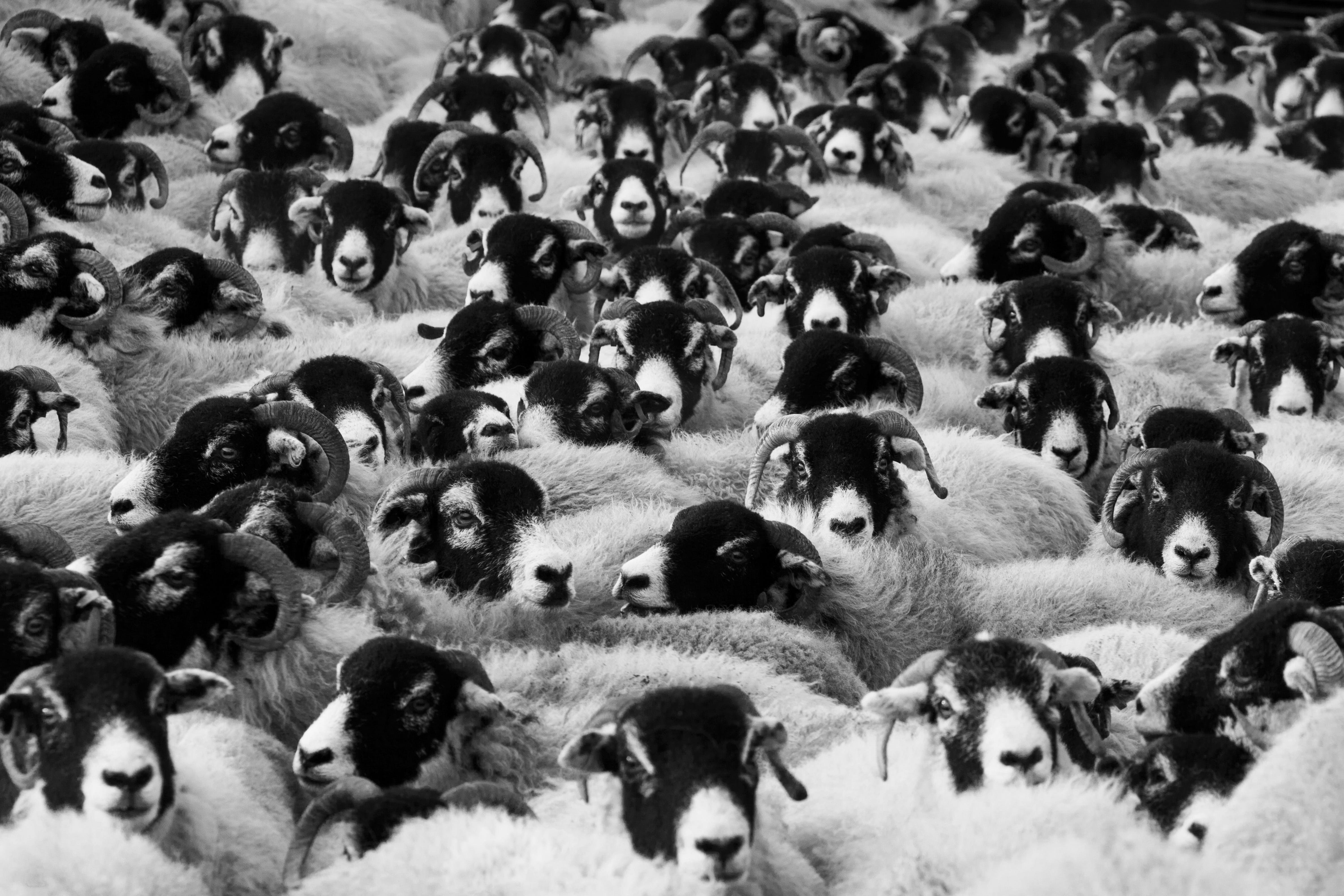Greyscale Photo of Sheep