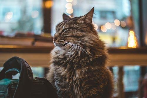 ひげ, キティ, ネコ, ペットの無料の写真素材