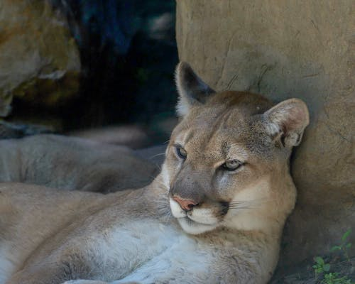 Close-Up Photo of a Brown Cougar