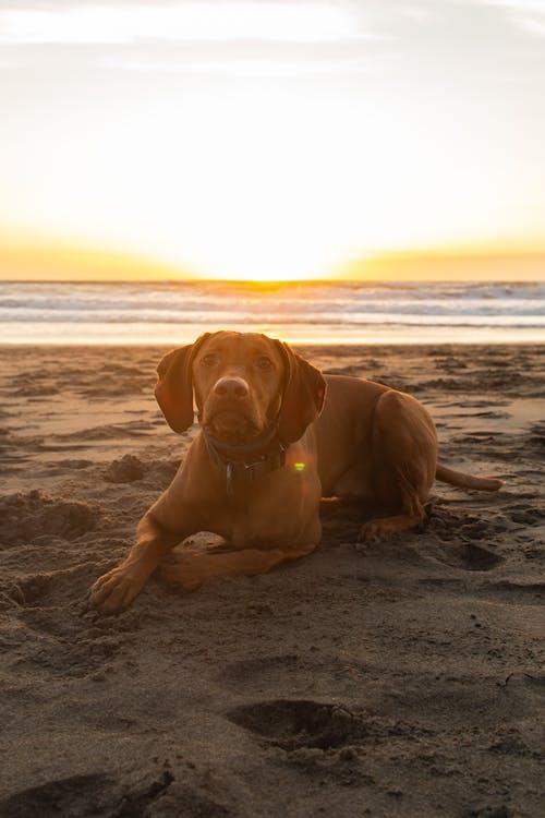 Gratis lagerfoto af hund, hvalp, solnedgang