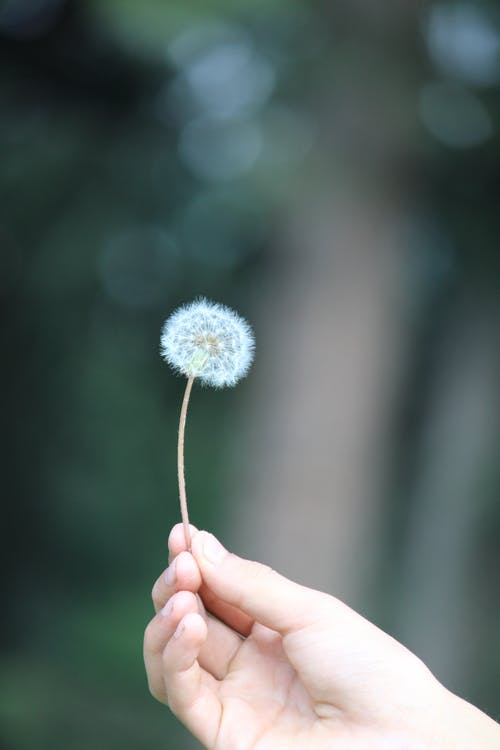 Close-Up Shot of a Person Holding a Dandelion