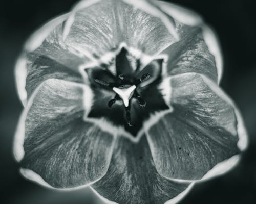 Grayscale Photo of a Flower in Bloom