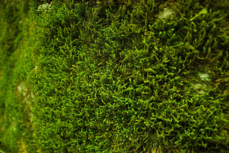 closeup, green, moss